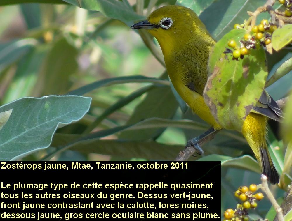 Zosterops_senegalensis_1fr.jpg