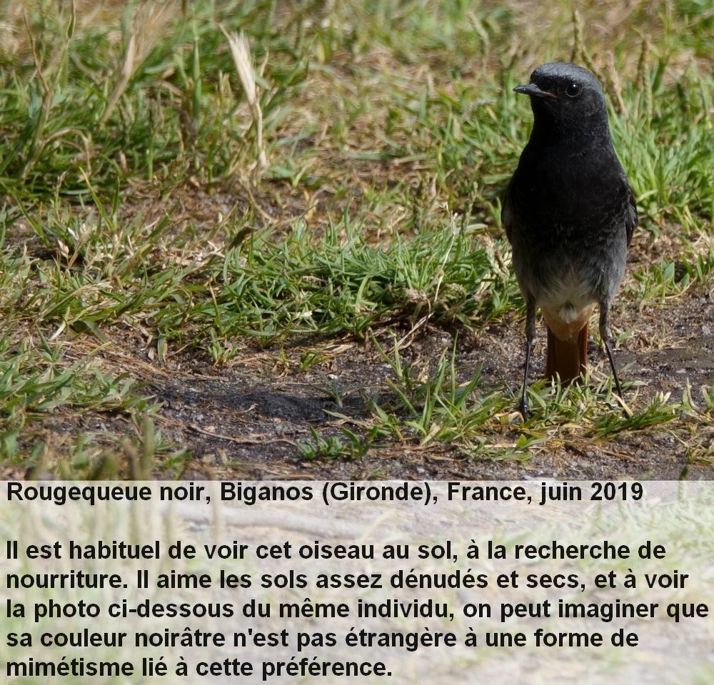 Phoenicurus_ochruros_4fr.jpg