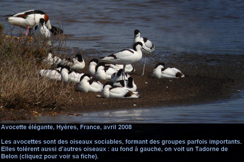Recurvirostra_avosetta_1fr.jpg