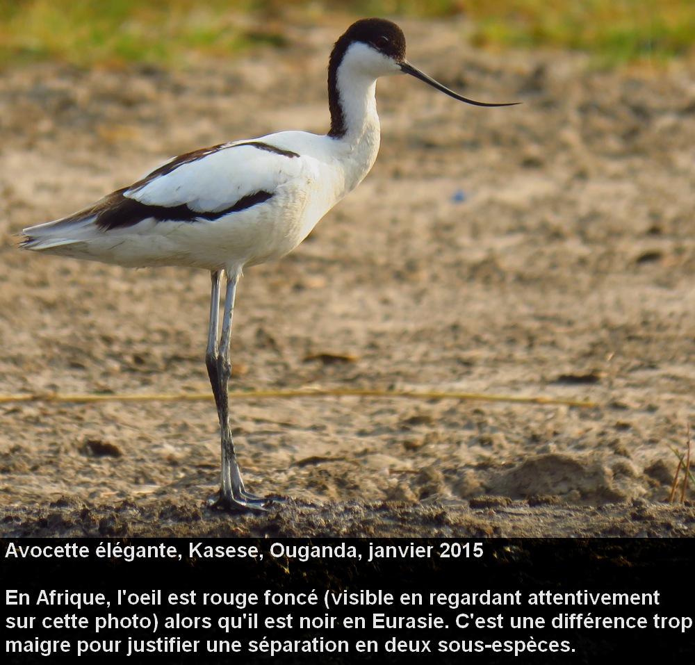 Recurvirostra_avosetta_2fr.jpg