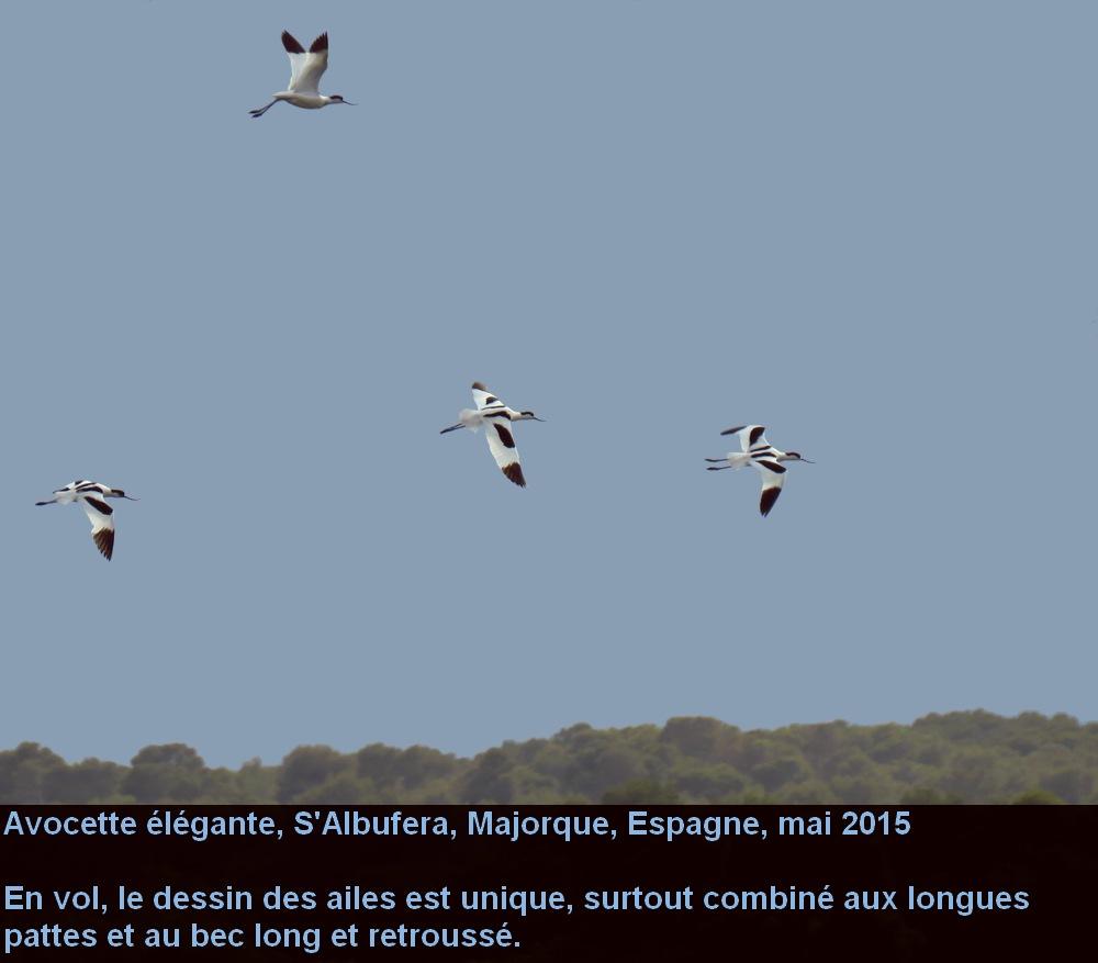 Recurvirostra_avosetta_4fr.jpg