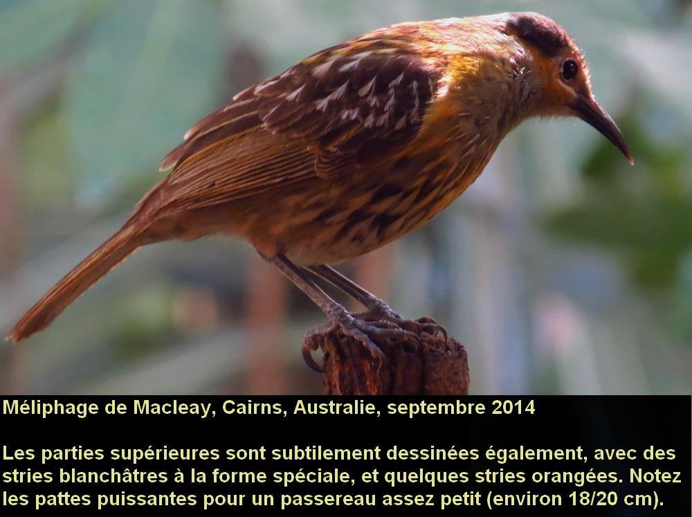 Xanthotis_macleayanus_2fr.jpg