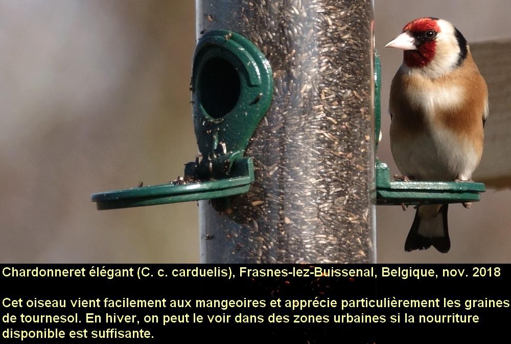 Carduelis_carduelis_3fr.jpg