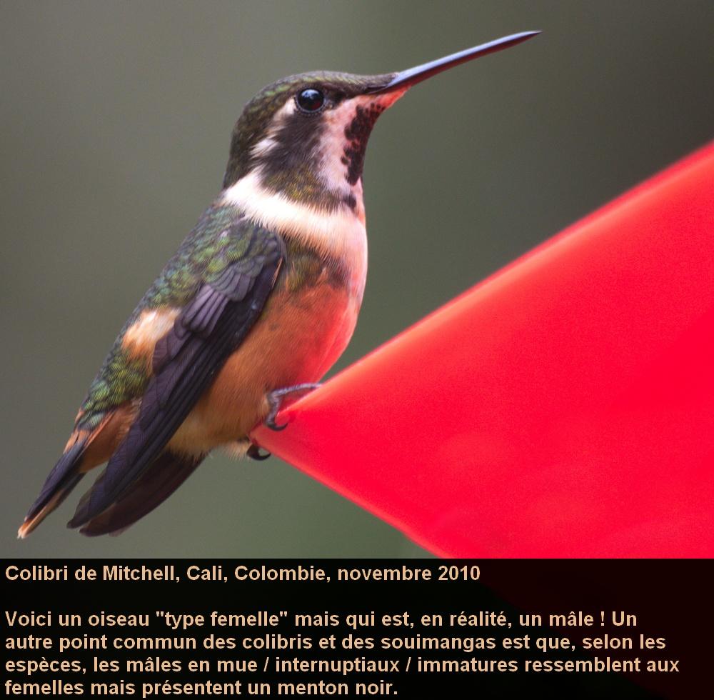 Calliphlox_mitchellii_2fr.jpg
