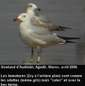 Ichthyaetus_audouinii_3fr.jpg
