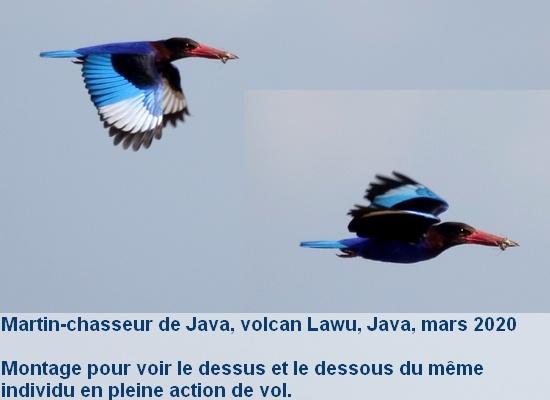 Halcyon_cyanoventris_1fr_java_volcan_lawu