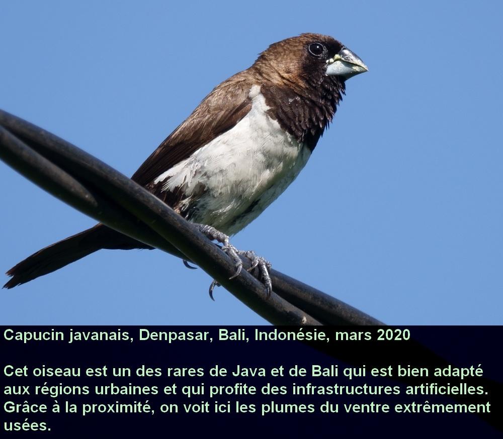 Lonchura_leucogastroides_4_francais_bali_denpasar