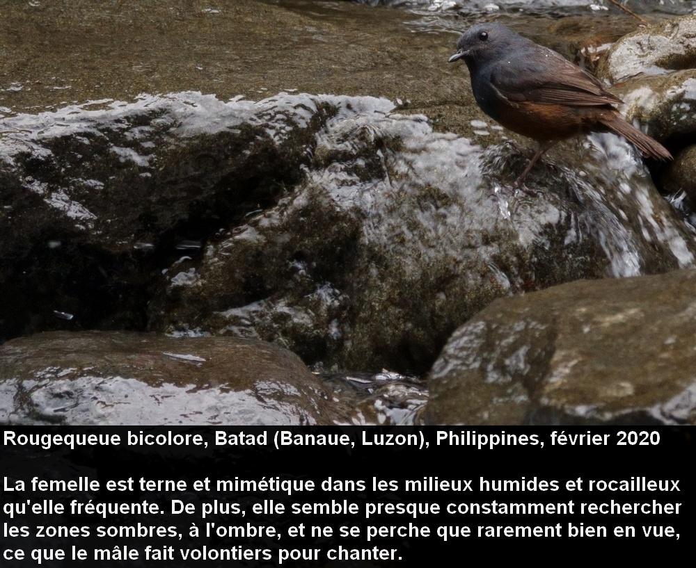 Phoenicurus_bicolor_1fr