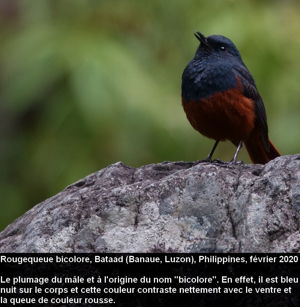 Phoenicurus_bicolor_2fr