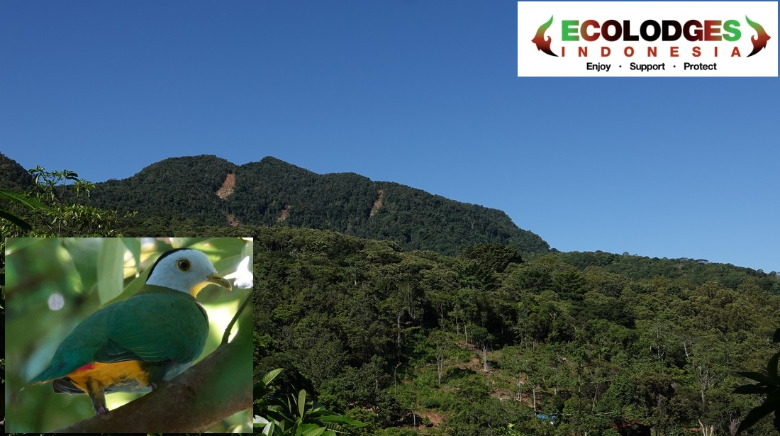 00fr_mbeliling_ecolodge_flores_indonesia_fruitdove