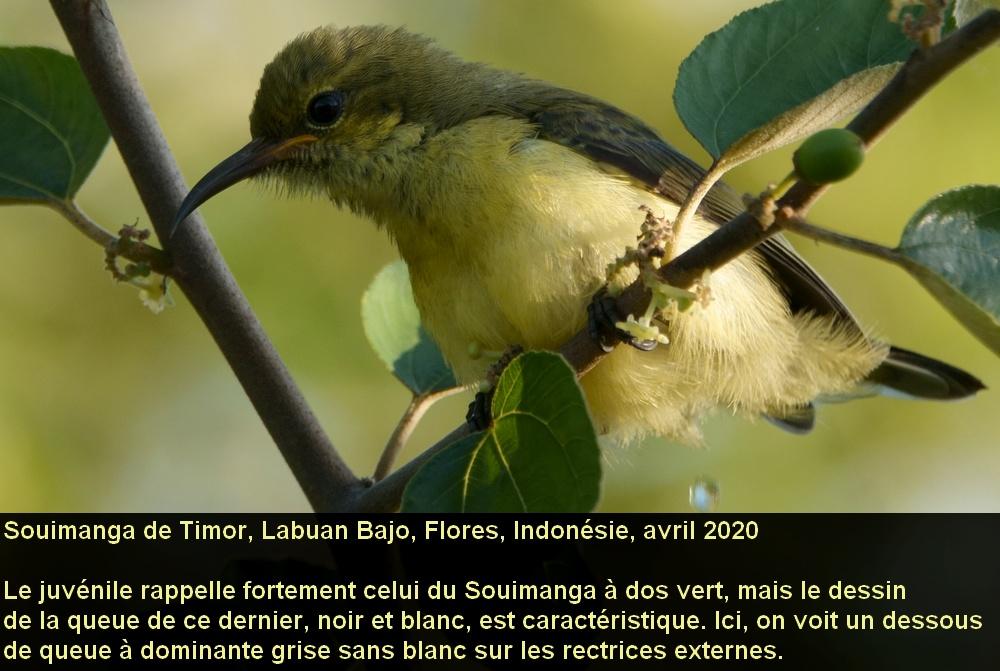 Cinnyris_solaris_6fr_flores_indonesie_juvenile