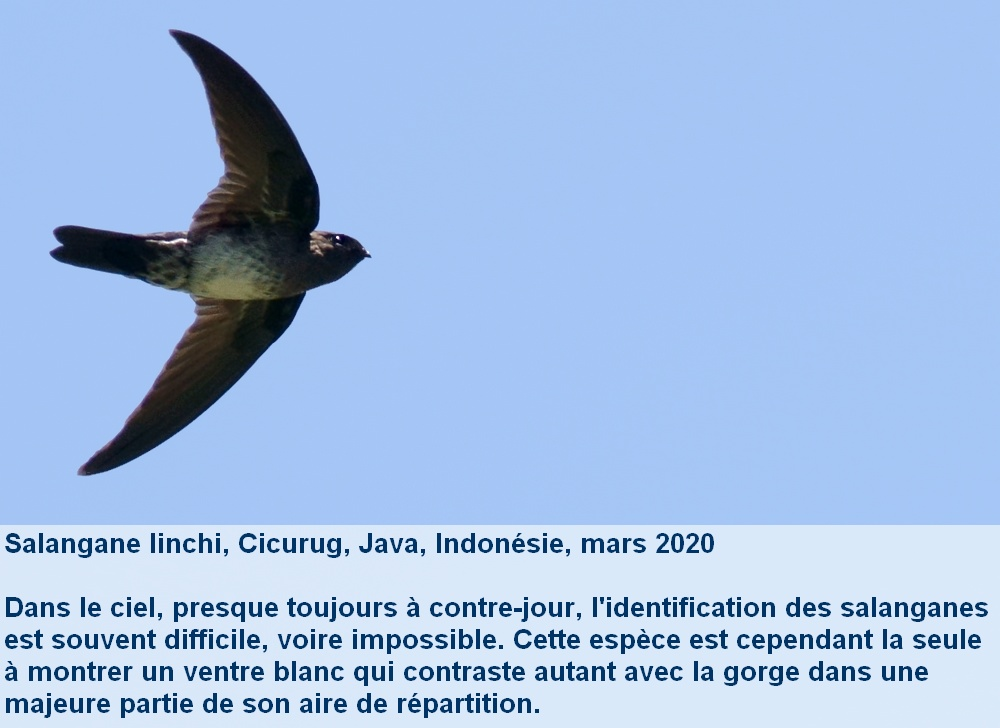 Collocalia_linchi_3fr_envol_dedessous_java_indonesie