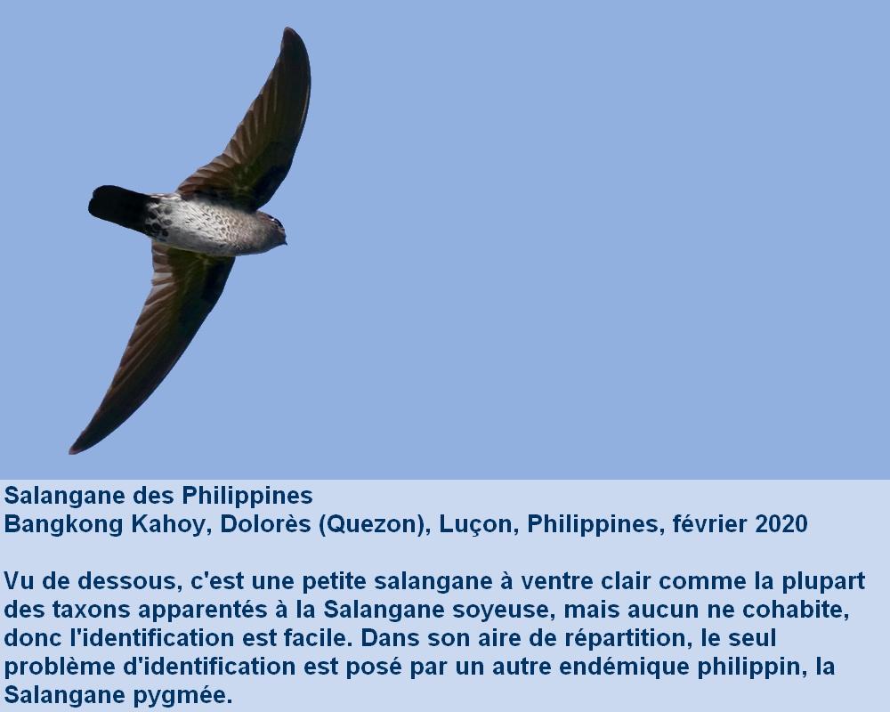 Collocalia_marginata_4fr_dessous_envol_bangkongkahoy_luzon_philippines
