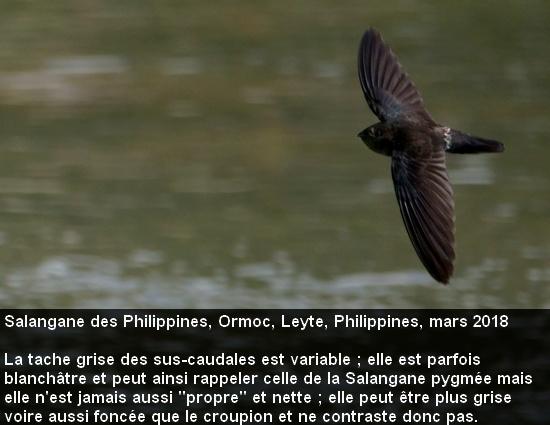 Collocalia_marginata_5fr_ormoc_leyte_philippines_envol_dessus_croupion