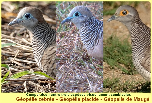 comparaison_geopelie_placide_zebree_demauge_1