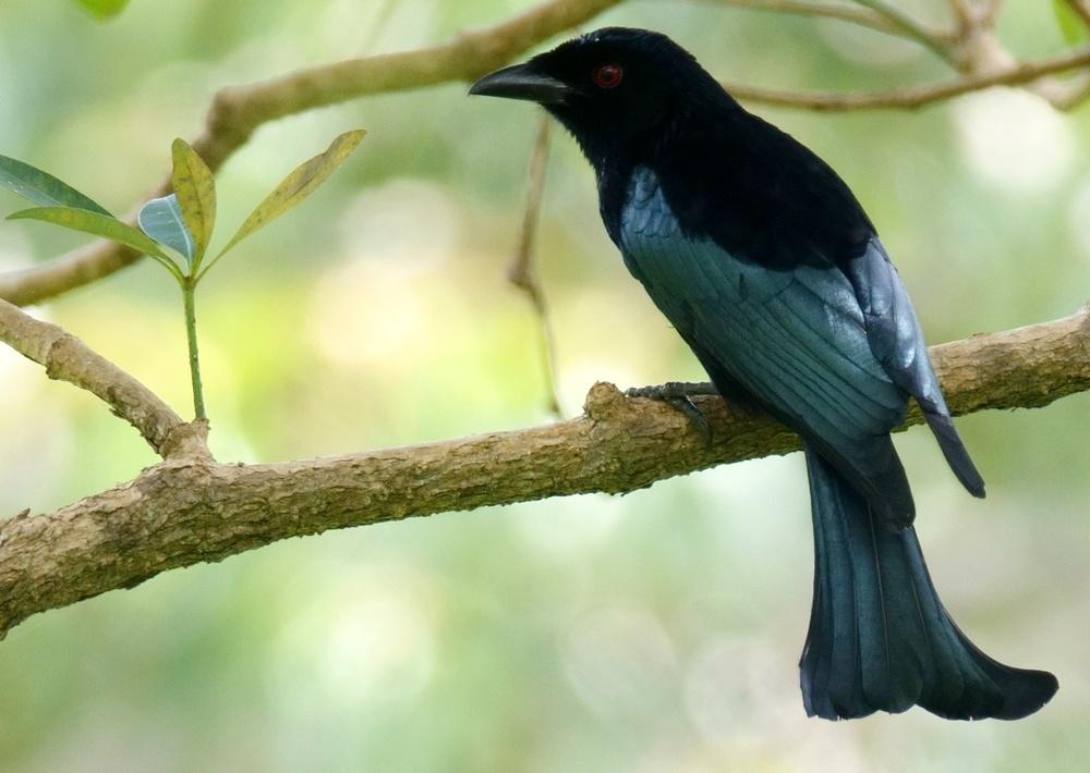 Dicrurus_bimaensis_2_mbeliling_ecolodge_flores_indonesia