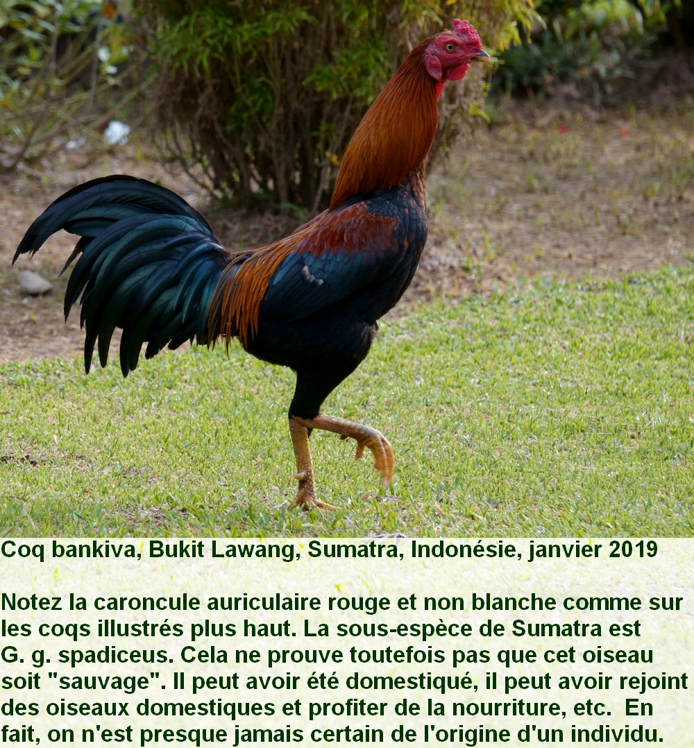 Gallus_gallus_6fr_feral_bukitlawang_sumatra_indonesie