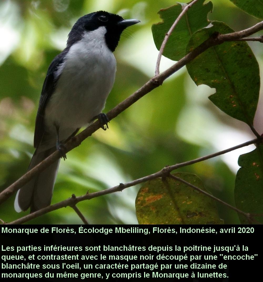 Symposiachrus_sacerdotum_2fr_mbeliling_ecolodge_flores_indonesie_endemique