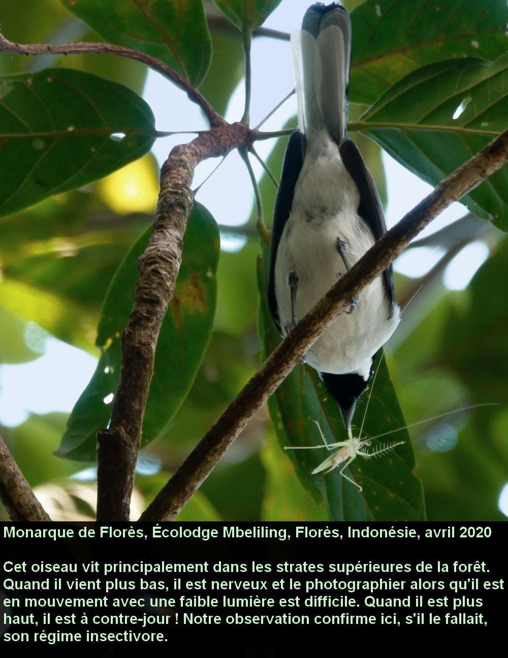 Symposiachrus_sacerdotum_3fr_mbeliling_ecolodge_flores_indonesie_insecte