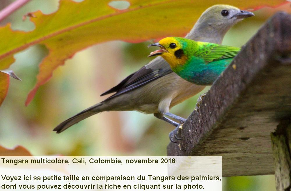 Chlorochrysa_nitidissima_3fr_cali_colombia_finca_km18_palmier_palmarum