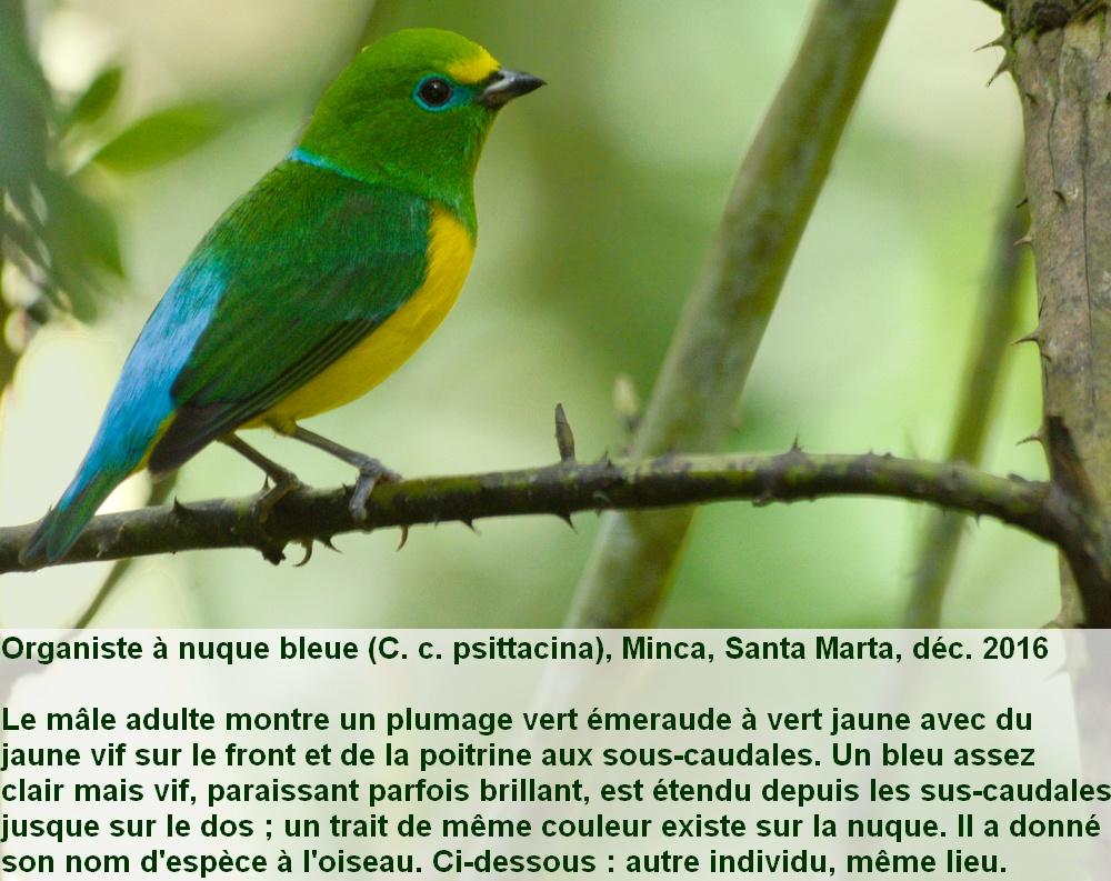Chlorophonia_cyanea_psittacina_1fr_santa_marta_colombie_male