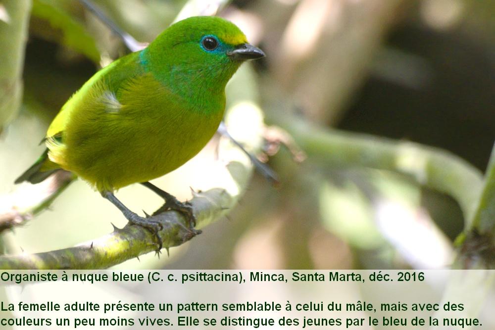 Chlorophonia_cyanea_psittacina_2fr_santa_marta_colombie_femelle