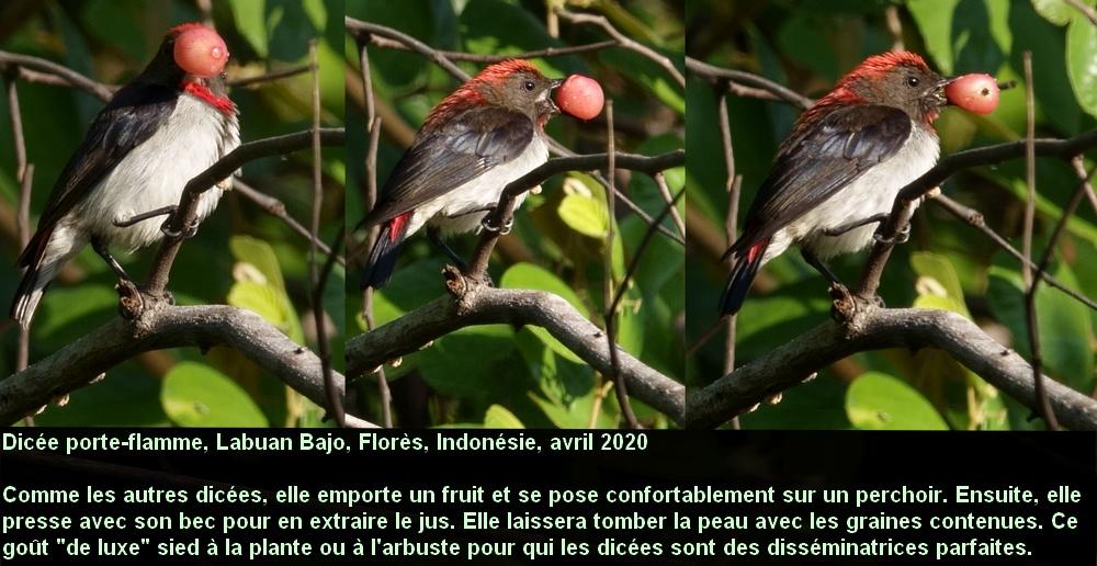Dicaeum_igniferum_1fr_male_adulte_flores_indonesie_fruit_dissemination