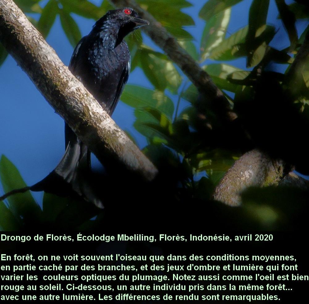 Dicrurus_bimaensis_3fr_mbeliling_ecolodge_flores_indonesia
