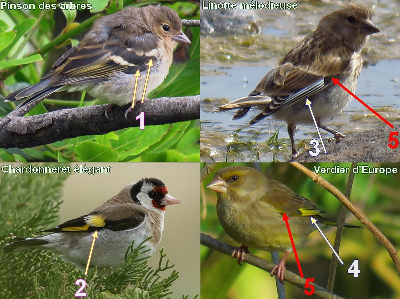 This image has an empty alt attribute; its file name is fringilla_carduelis_linaria_chloris.jpg