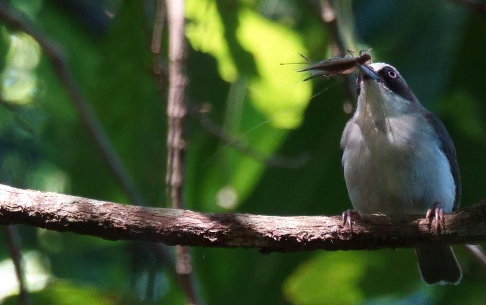 Heleia_crassirostris_4_ecolodge_mbeliling_flores_indonesie_insecte