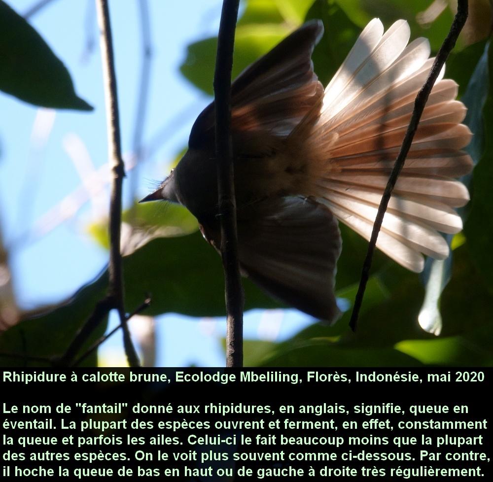 Rhipidura_diluta_11fr_flores_indonesia_ecolodge_mbeliling_queue_eventail