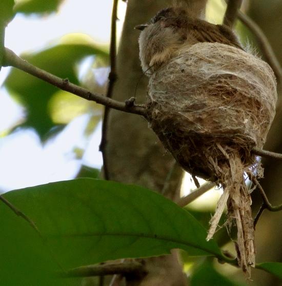Rhipidura_diluta_9_flores_indonesia_ecolodge_mbeliling_pullus_nest