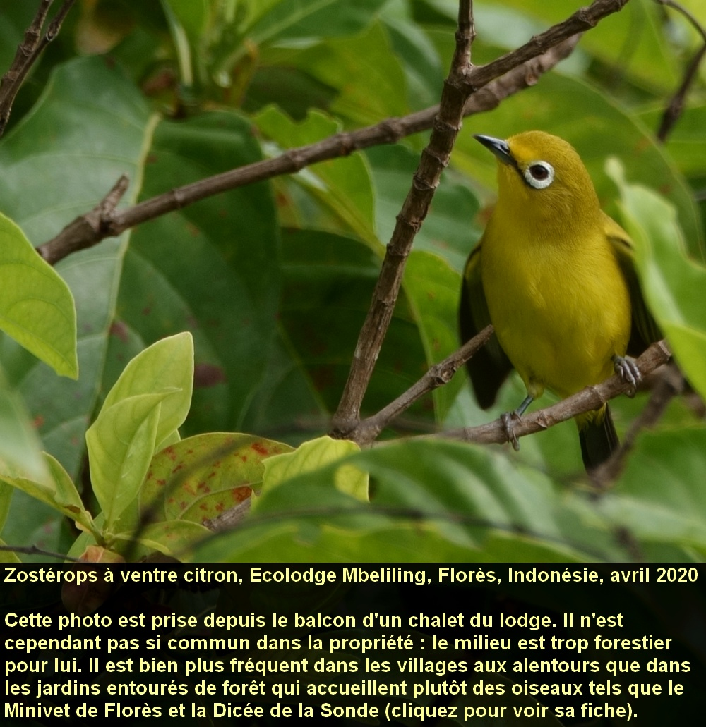 Zosterops_chloris_1fr_ecolodge_mbeliling_flores_indonesia