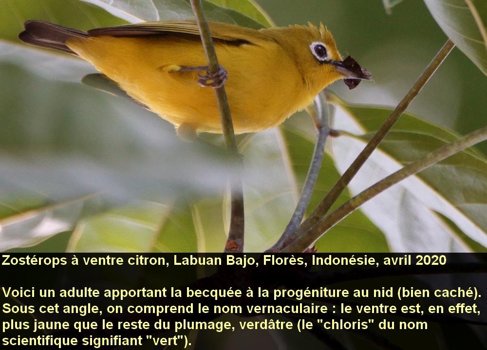 Zosterops_chloris_2fr_ventrejaune_becquee_flores_indonesie